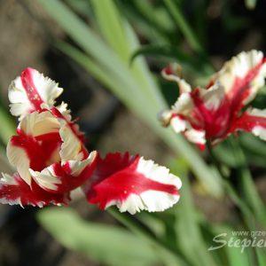 tulipan-IMGP9747